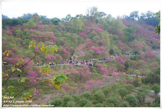 [台中] 那些年我們一起追的櫻花 ♥ 櫻木花道。大坑私人櫻花林 ☆