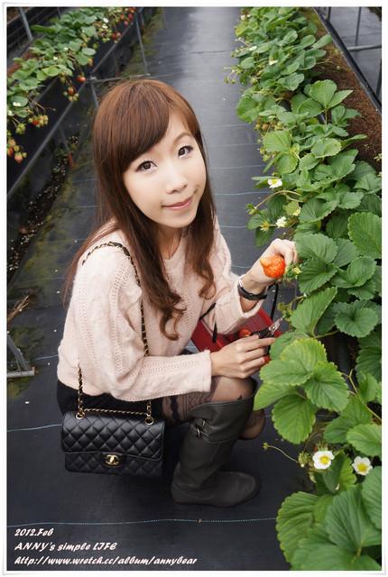 [苗栗] 每年必遊朝聖之旅 ♥ 大湖採草莓