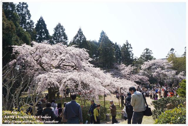 【京阪自由行】賞櫻推薦必逛景點 醍醐寺 三寶院 ♥ 美不盛收的滿開櫻花